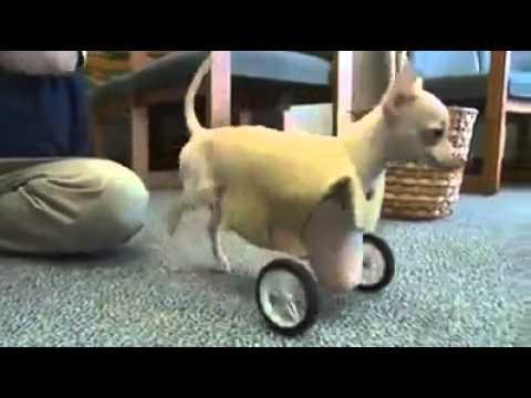 Two Legged Dog Gets Her Wheels! - YouTube