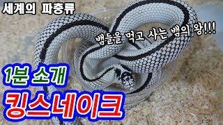 뱀의 왕, 킹스네이크를 소개합니다!