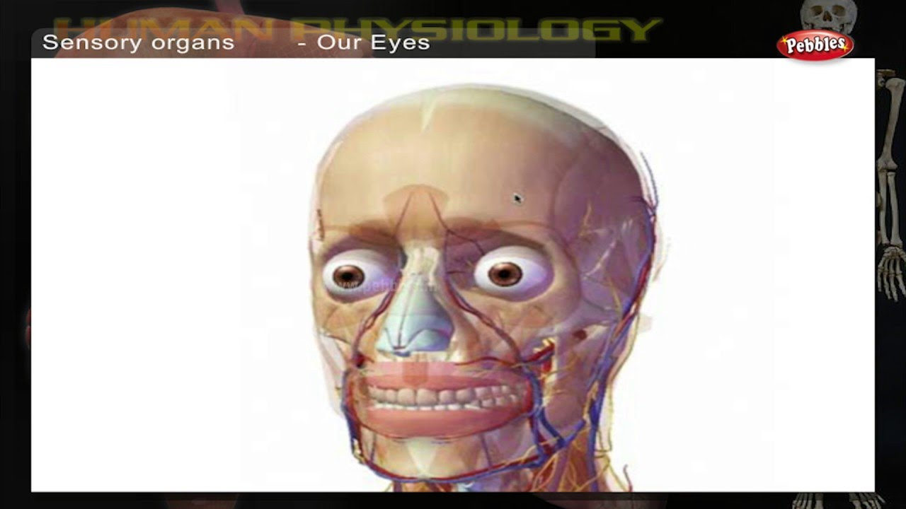 Sensory Organs How Human Body Works Human Body Parts And