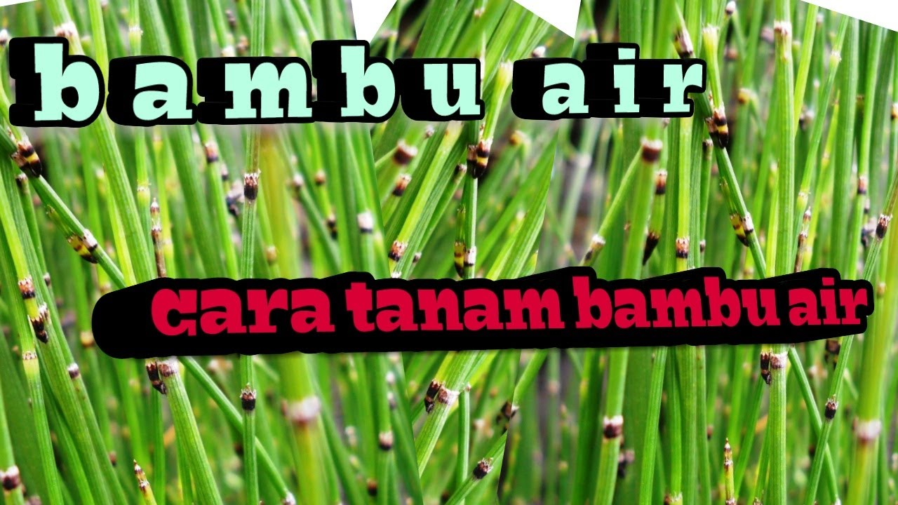 Cara Mengolah Tanah Untuk Tanaman Bambu Air Dan Tanaman Bunga Hias Lainnya Youtube