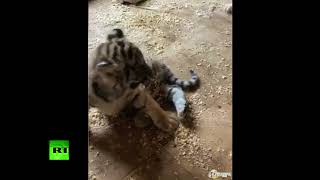 What you need on a Friday evening: Tiger cub & puppy play together at Russian zoo