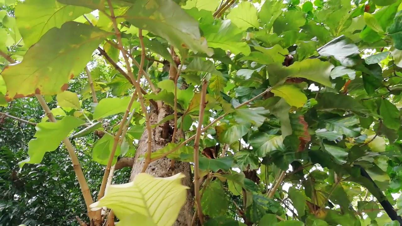 Teak Tree Tectona Grandis