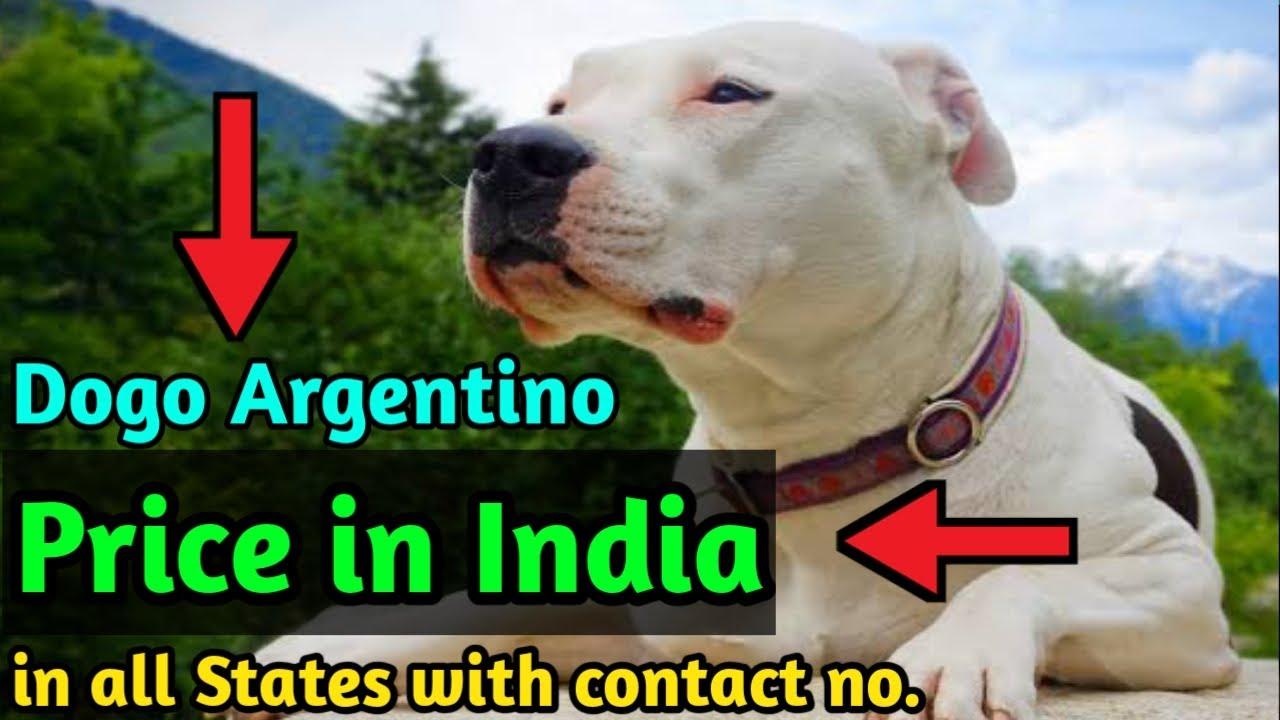 Dogo Argentino Price In India All