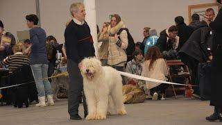 Южнорусская овчарка ТОМИЛА на выставке