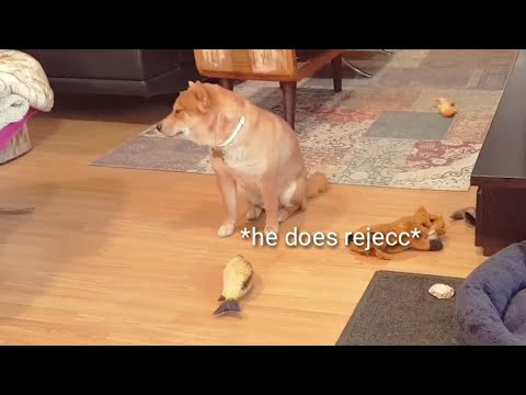 Shiro is oberli excited / Shiba Inu puppies (with captions)