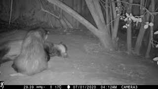 A badger sow carefully grooms her boar
