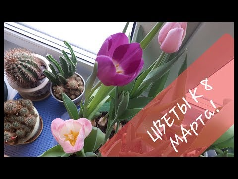 Выгонка тюльпанов к 8 марта от Посадки до Цветения@