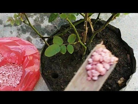 Tips Pemupukan Bunga Mawar Agar Cepat Berbunga Youtube