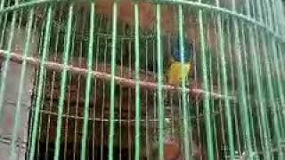 Download Mp3 Kicau Burung Sotong Jos