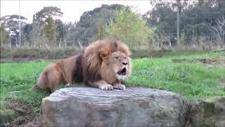 Lions Roaring Compilation