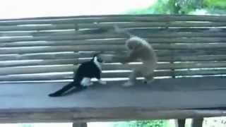 Обезьяна тролит кошку