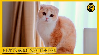 6 Facts About the Scottish Fold You Need to Know