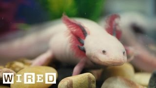 Absurd Creatures | This Salamander Could Teach Humans How To Regrow Limbs