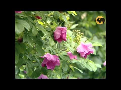 Розы в Саду. серия 32. Роза морщинистая.
