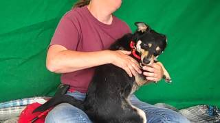 A4845480 Tony | Manchester Terrier Beagle Mix Puppy