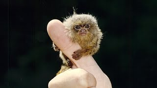 FINGER MONKEYS ARE TINY