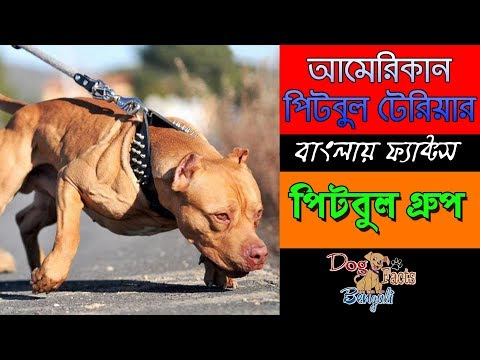 American pitbull terrier dog facts in Bengali | Pitbull dog group | Dog Facts Bengali