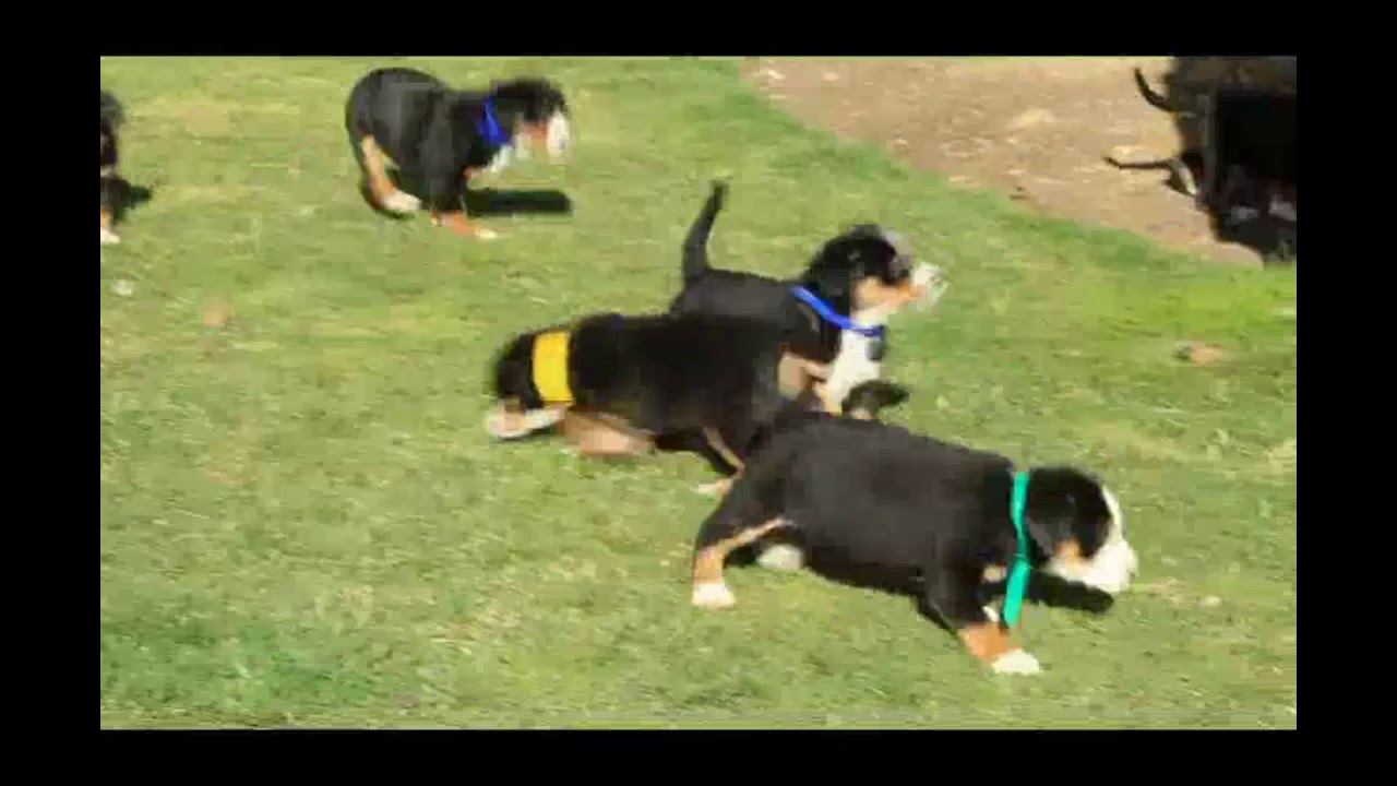 Greater Swiss Mountain Dog Puppies For Sale Daniel Esh Youtube