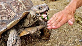 bitten-by-giant-sulcata-tortoise