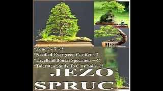 Jezo Spruce,  Picea jezoensis Tree Seeds  on  www.MySeeds.Co