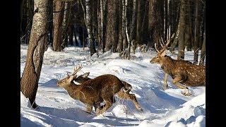 Секреты сибирских охотников или как охотиться на оленя зимой