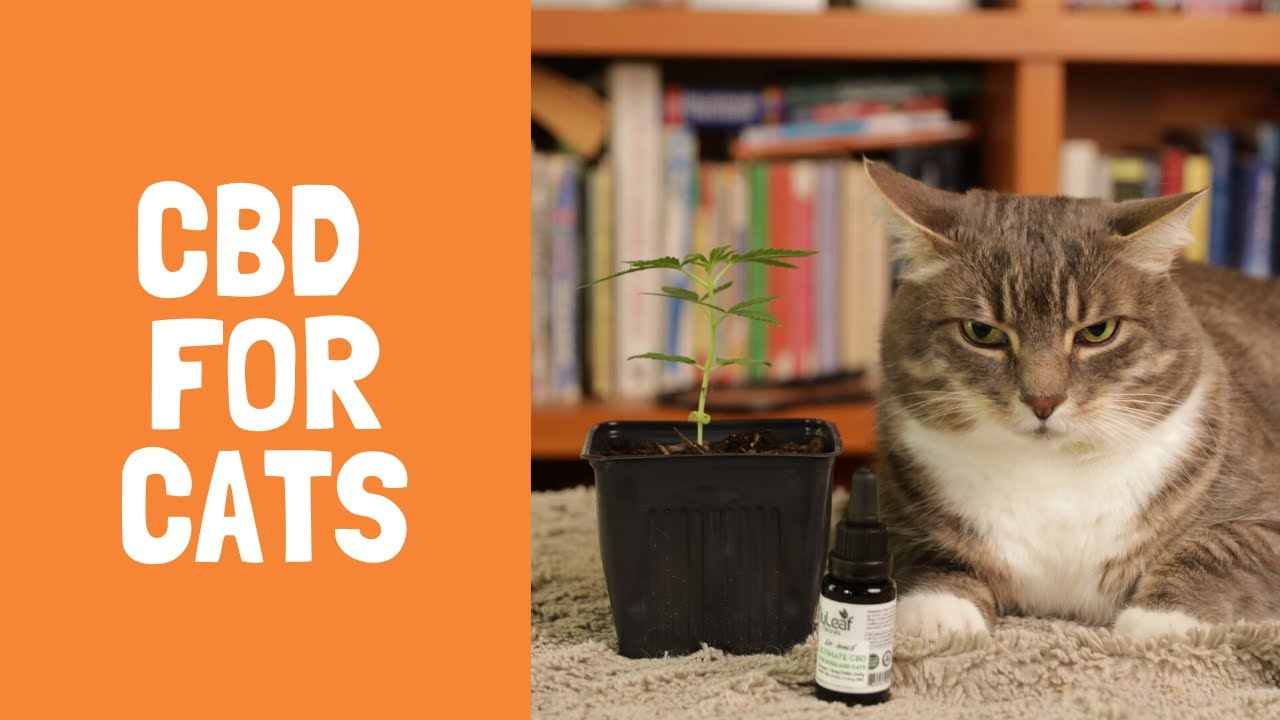 CBD for Cats: Top 7 Benefits