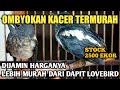 Update Harga Kacer Ombyokan Terbaru  Rjbird Shop Jogjakarta  Mp3 - Mp4 Download
