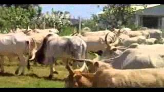Troupau de vaches part 2