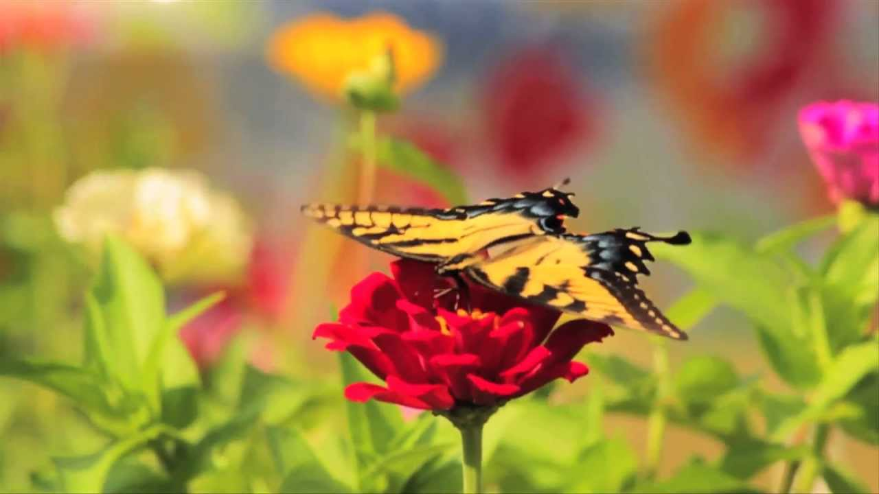 The Eastern Tiger Swallowtail Butterfly a North Carolina State ...