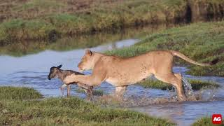 A lioness toys with her food (NOT for sensitive viewers)  [Best Video Clip 2019 entry]