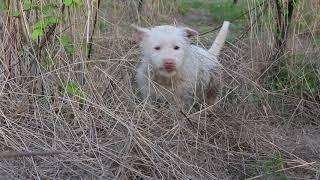 中华下司犬在树林里发现刺猬,现实版的狗咬刺猬,无处下牙.