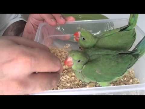 طريقتي في اطعام وفطم فرخ الدرة Ringneck Chick Hand Feeding Youtube