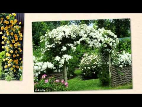 Tea Roses and Climbing Roses @ Jared\'s Nursery, Gift and Garden ...