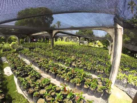 Simply Natural Investments - Nursery Mango Saplings