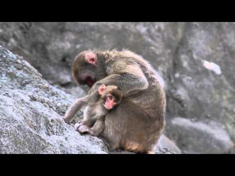 Misaki Kouen Monkeys  みさき公園のニホンザル親子