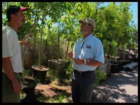 How To Choose A Shade Tree For Your Landscape<a href='/yt-w/Zogjq6ul6hA/how-to-choose-a-shade-tree-for-your-landscape.html' target='_blank' title='Play' onclick='reloadPage();'>   <span class='button' style='color: #fff'> Watch Video</a></span>