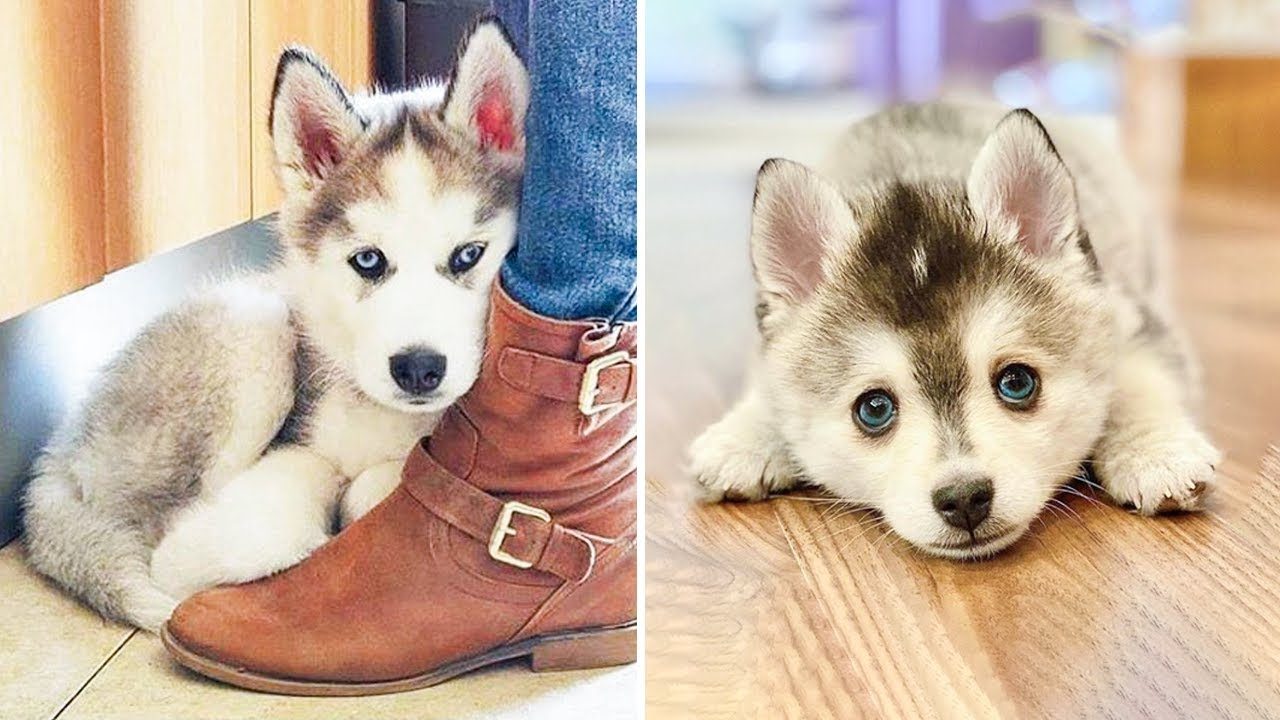 Funny and Cute Husky Puppies Compilation 2020 - Cutest Husky #04