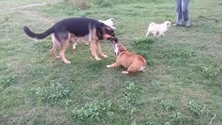 Английский бульдог vs Овчарка