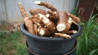Growing cassava at home, From planting to harvest.