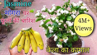 How to grow Mogra plant in Pot | Grow Jasmine Complete Guide