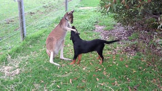 Kangaroo Playing With Rottweiler Puppy