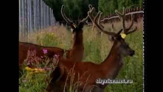 Применение инъектора, обездвиживание оленя