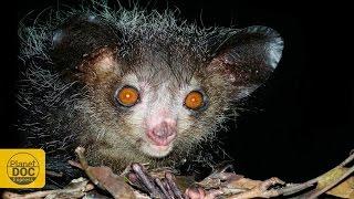 Aye Aye Lemur of Madagascar