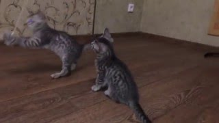 Бенгальские котята 2месяца