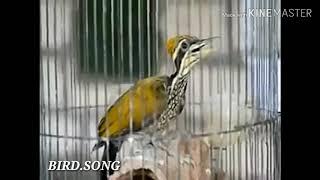 Gambar cover Bird song pelatuk gacor ngerol pas buat masteran