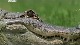 Дикая природа. Аллигаторы и крокодилы. Людоеды.