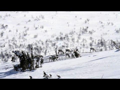 За северным оленем