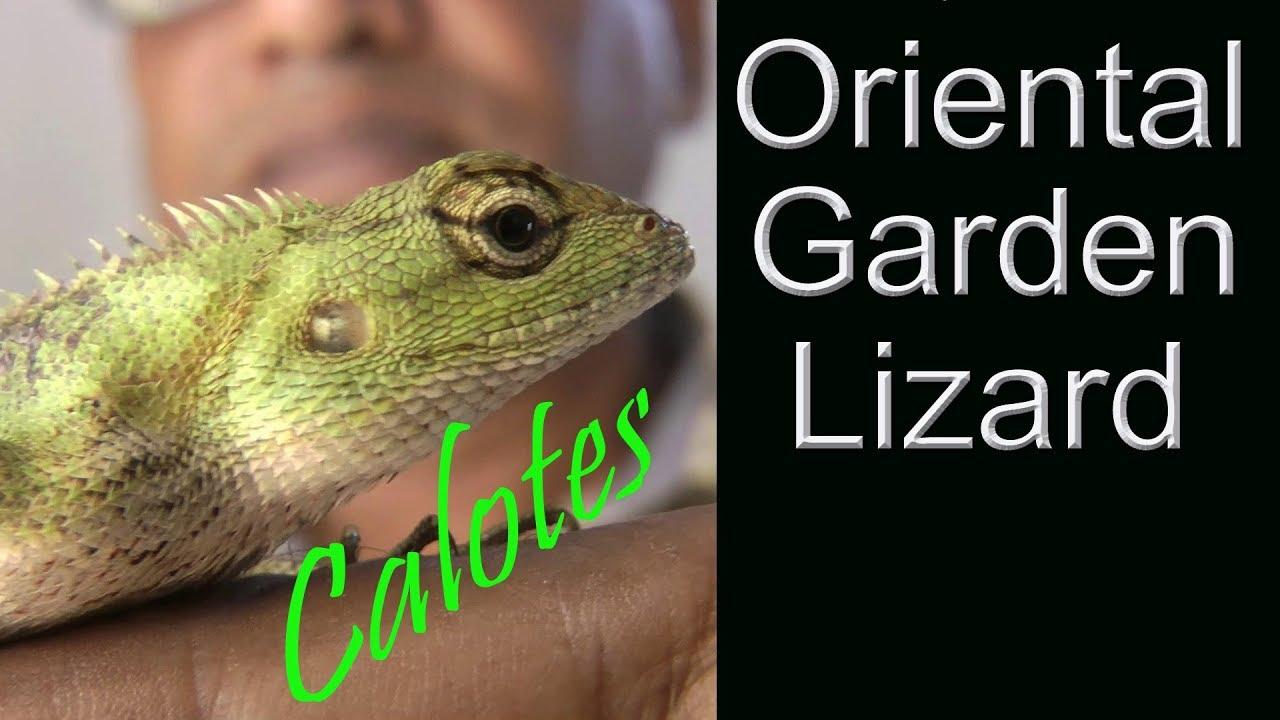 Oriental Garden Lizard Is Not Harmful For Human À¦à¦¯ À¦™ À¦•à¦° À¦à¦• À¦® À¦¥ À¦¯ À¦…পব À¦¦ À¦¨ À¦¯ À¦¬ À¦¡ À¦š À¦› À¦— À¦°à¦— À¦Ÿ Youtube