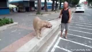 Кошка напала на собаку защищая котят