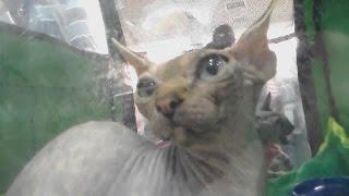 Сфинкс, Кот Инопланетянин, Породы кошек